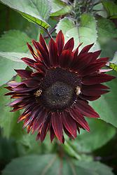Bees on Helianthus annuus 'Black Magic' - Sunflower