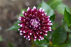 Burgundy Dahlia Flower with White Tips