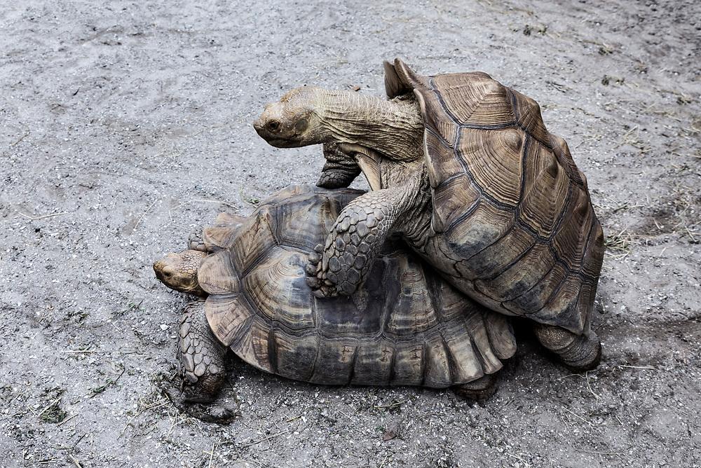 Tortoise mating behavior.