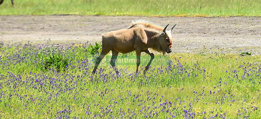 SOUTH AFRICA - Cape Town - 12 October 2020- The wildebeest, also called the gnu, is an antelope in the genus Connochaetes. It belongs to the family Bovidae, which includes antelopes, cattle, goats, sheep, and other even-toed horned ungulates.This goup of beest is on a farm near Stellenbosch  .Photograph; Phando Jikelo/African News Agency(ANA)