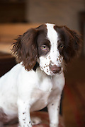 A cute Springer Spaniel dog, with brown markings, in pensive mood and thinking of mischief at home in England