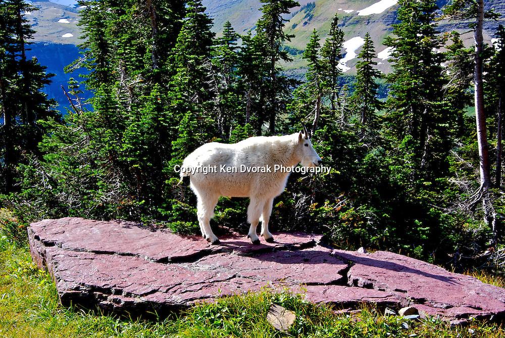 Mountain Goat 8