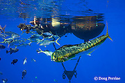 a mahimahi, dorado, or dolphinfish, Coryphaena hippurus, rainbow runners or kamanu, Elagatis binnulata, and ocean triggerfish, oceanic triggerfish, rough triggerfish or spotted triggerfish, Canthidermis maculata, swarm around a pair of buoys installed in offshore waters to support an aquaculture pen - since removed; the buoys, about 4 miles off Keauhou, Kona, Hawaii ( the Big Island ), now act as a FAD or fish aggregating device; Hawaii, USA ( Central Pacific Ocean )