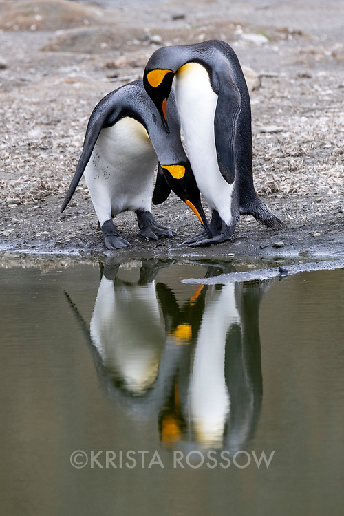 A pair of king penguins nuzzle each other while reflected in a pond at Saint Andrews Bay on the north coast of South Georgia Island.