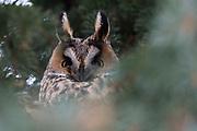 Long-eared owl (Asio otus), Kikinda, Serbia.