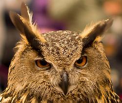 Close up Portrait of Eagle Owl