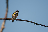 This is a Yellow Rumped Warbler perched on the branch of an oak tree in Pine City, NY.