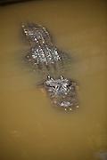 American alligator (Alligator mississipiensis) submerged in water Myrtle Beach, SC.