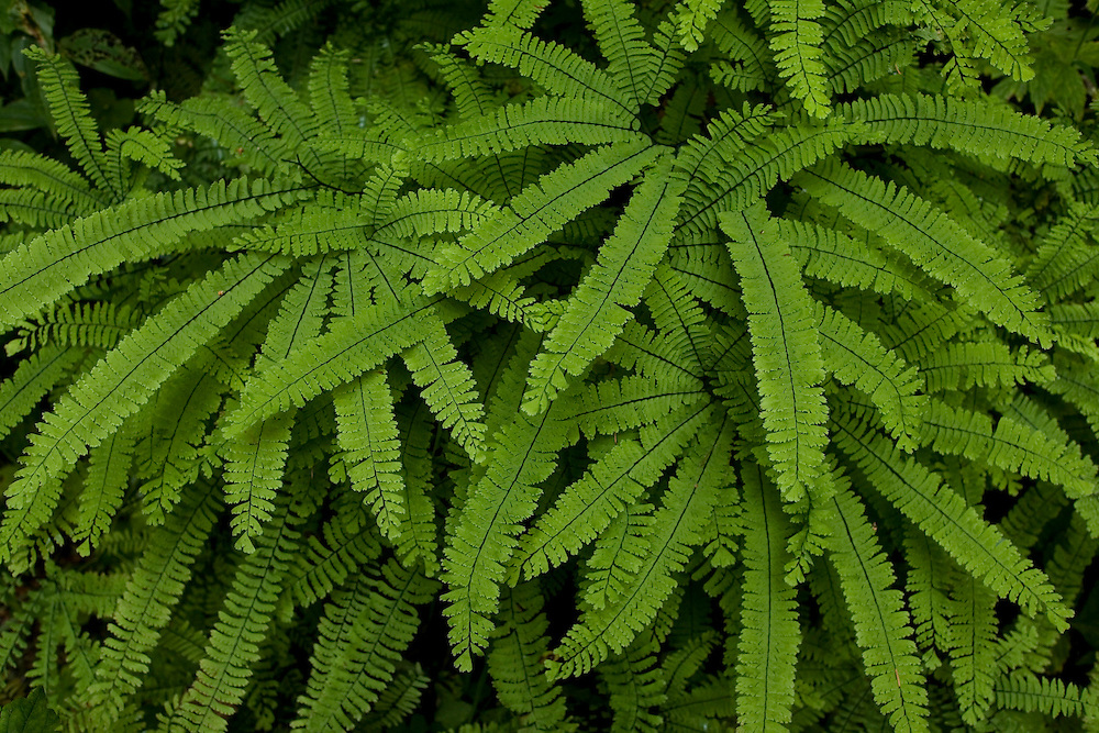 Ferns along Lower Macleay Trail in Forest Park, Portland Oregon