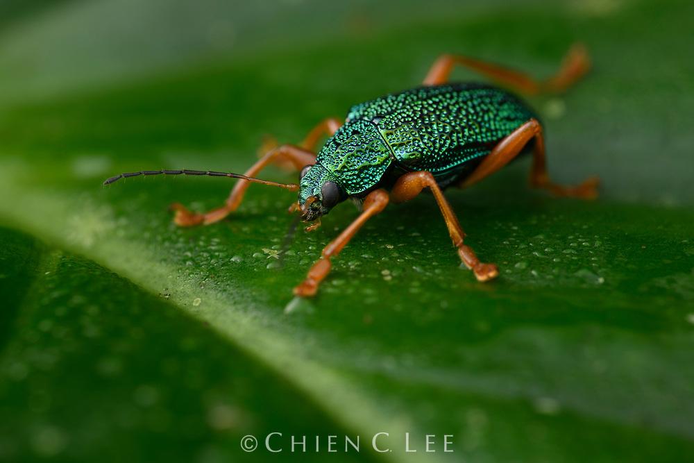 Leaf beetle (Callicolaspis heros). Napo, Ecuador.