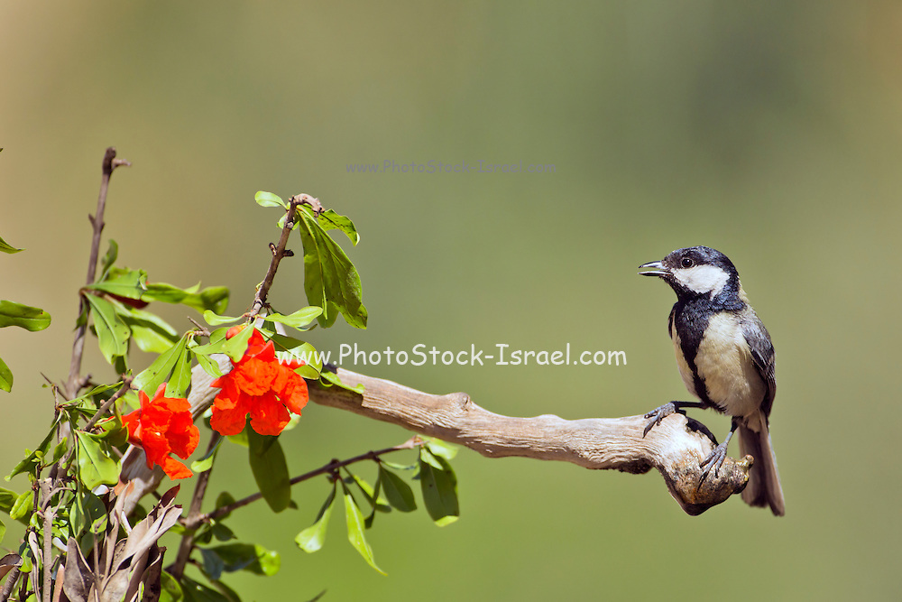 Great Tit (Parus major) perched on a branch, This bird is widespread throughout Europe and Asia and grows up to 14 centimetres long. It is primarily an insectivore preferring to feed its young with protein rich caterpillars during the breeding season. Israel in May