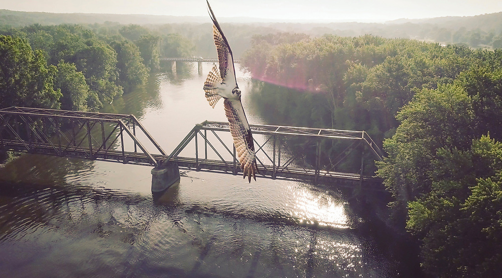 An osprey in flight over the Grand River near Lowell, Michigan outside Grand Rapids, Michigan.