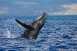 Humpback Whale calf, breaching, Megaptera novaeangliae, Hawaii, Pacific Ocean