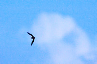Bat in Flight at Dusk. Summer Nature in New Jersey. Image taken with a Nikon D3s and 400 mm f/2.8G II lens (ISO 102400, 400 mm, f/5.6, 1/250 sec). Raw image processed with Capture One Pro 6, Topaz DeNoise 5, and Photoshop CS5.