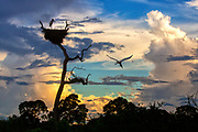 A pair of Jabiru Storks roost on a nest at sunset in the Pantanal.