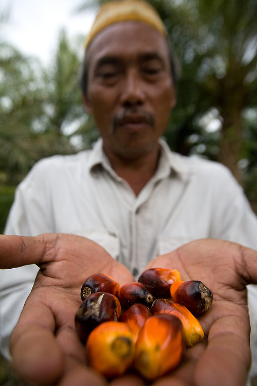 Cotmee Village near Meulaboh - Aceh, Indonesia  Nov. 2008. (Heifer Participant) Supardi holds palm seeds from his small palm oil plantation . The price of palm oil has plummeted so fast that it is almost not worth harvesting the oil rich seeds.