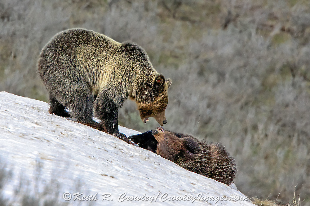 Sub-adult grizzlies wrestle on snow.