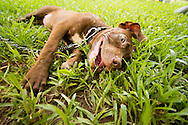 A dog lays down in the grass, jaw and eye widely opened. Lenin park, hanoi, Vietnam, Asia.