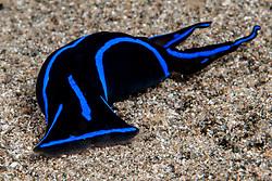 Blue Velvet Helmetshield Slug, Chelidonura varians,  Anilao, Philippines, Pacific Ocean