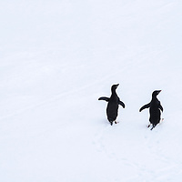 Two Adelie penguins rest on a piece of sea ice  in Cape Green, Antarctica.