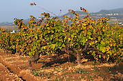 Vineyard. Mas Comtal, Avinyonet, Penedes, Catalonia, Spain