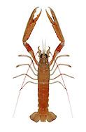 Norway Lobster - Nephrops norvegicus