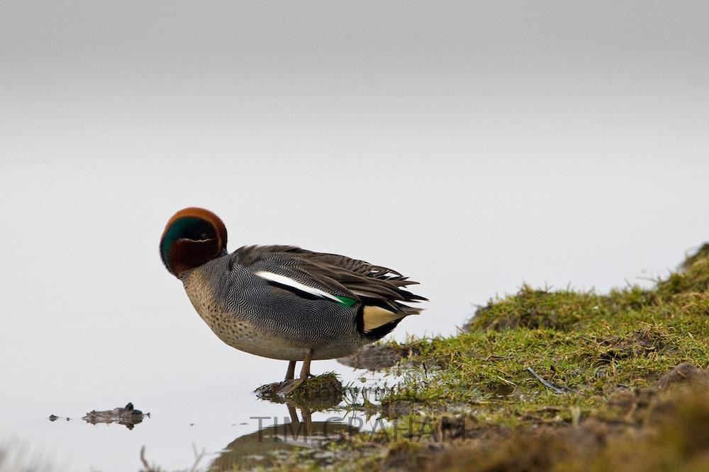 Teal Duck preening,  Norfolk, UK
