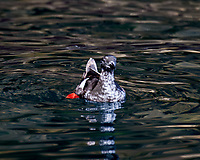 Juvenile Black Guillemot (Cepphus grylle). Viewed from a RIB Safari Boat tour near Smáeyjar Island. Image taken with a Nikon D4 camera and 80-400 mm VR lens