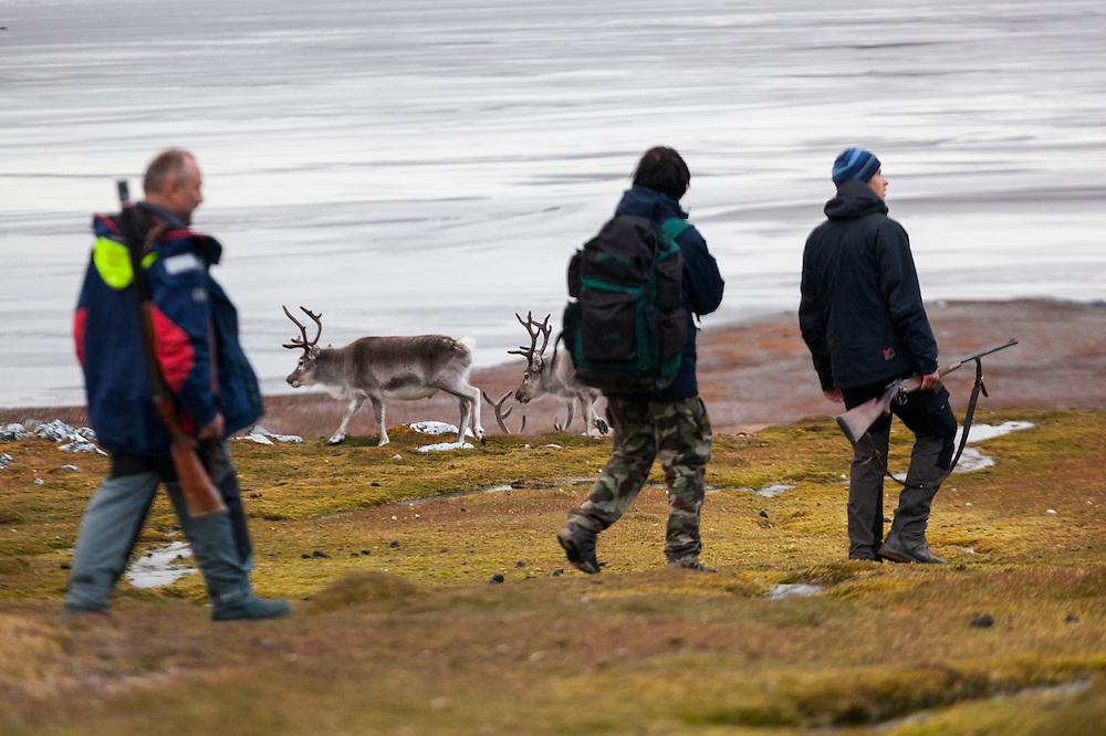 Researchers (carrying rifles for protection from polar bears) walk past reindeer (Rangifer tarandus) on the coast near Hyttevika, Svalbard.