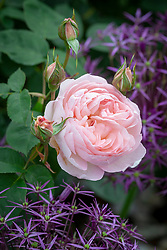 Rosa 'Gentle Hermione' syn. Ausrumba with Allium cristophii AGM  - Star of Persia.
