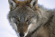Wolf portrait, Canis lupus, Toropets, Russia, controlled conditions