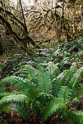Ferns thrive and moss grows thick on a tangle of brances in Hoh Rain Forest, Olympic National Park, Washington, USA. Here in one the few temperate rain forests in the USA, annual precipitation ranges from 141 to 165 inches (12 to 14 feet or 360 to 420 cm). Summers are relatively dry in comparison to the rest of the year.