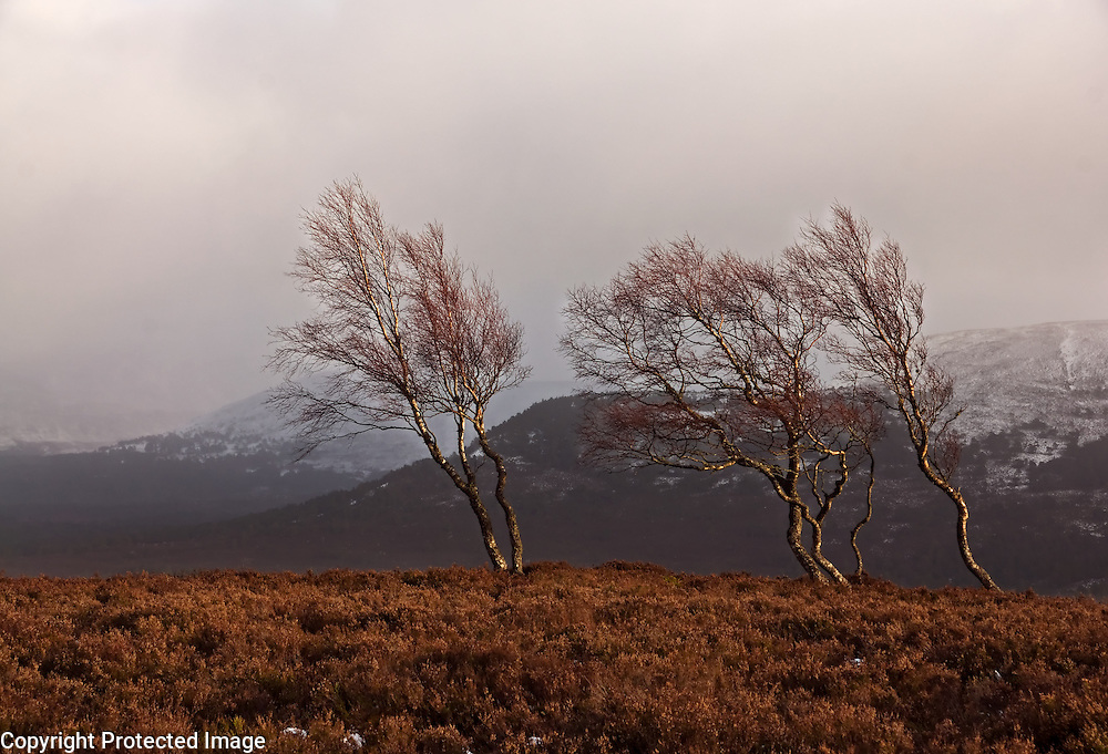 Tree windswept birch trees are lit by the last light before a storm comes on the top of a hill in the Cairngorms National Park, Scotland