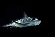 Ratfish / Ghost shark (Chimaera monstrosa) in fjord, Trondheimsfjord, Trondheimsfjorden, Norway | Chimäre (Chimaera monstrosa)<br /> Seekatzen, Seedrachen, Geisterhaie, Spöken: Die volkstümlichen Namen der Chimären sagen bereits einiges über ihr rätselhaftes Wesen aus. Zusammen mit Haien und Rochen bilden sie die Klasse der Knorpelfische, deren Skelett nicht aus festem Knochen, sondern Knorpelgewebe besteht. Ihren Namen verdanken sie Carl von Linné, den die schuppenlosen Fische mit den großen reflektierenden Augen und dem langen Schwanz an griechische Fabelwesen erinnerte: die Chimären. Sie ziehen meist in kleineren Gruppen durchs Wasser und ernähren sich von bodenlebenden Tieren.<br /> Wassertiefe: 30 bis 1.000 Meter<br /> Körpergröße: 1 Meter