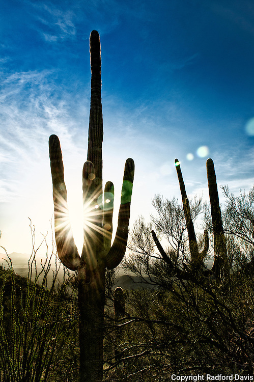Sun catches a saguaro just right in late afternoon.