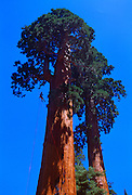 Andy Taylor rappels down a giant redwood near Springville California.