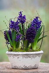 Hyacinthus orientalis 'Spring Field' in white ceramic bowl