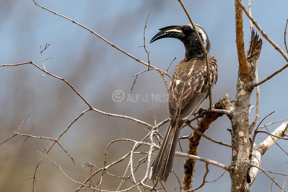 African grey hornbill (Lophoceros nasutus) from Kruger NP, South Africa.