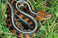 California Red-sided Garter Snake, Thamnophis sirtalis infernalis