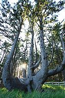Octupus Tree at Cape Mears along the Oregon Coast