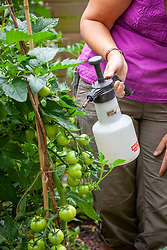 Spraying outdoor tomatoes with Bordeaux mixture to prevent blight