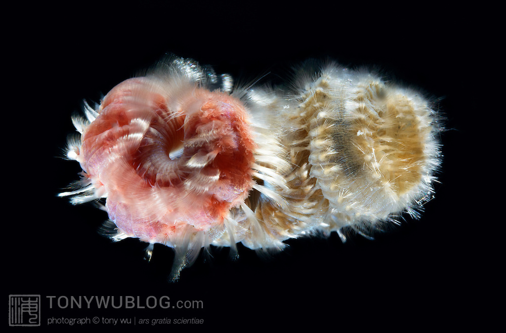 Spawning polychaete worms. The ones pictured here are often called fireworms due to the pain that ensues if you touch the bristles, which contain a neurotoxin. Photographed during a blackwater dive a couple of days prior to the new moon.