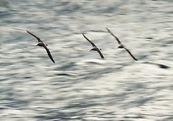 Shy albatross (Thalassarche cauta) in New Zealand