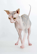 Supreme Grand Champion Chichi Fleurtacious (Fleur), Breed, Sphynx