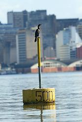O pássaro Biguá é um dos que mais habita as margens do Rio Guaíba, em Porto Alegre. FOTO: Jefferson Bernardes/Preview.com