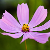 Pink Cosmos bipinnatus, a fast growing, daisy-like annual flower with ferny foliage.
