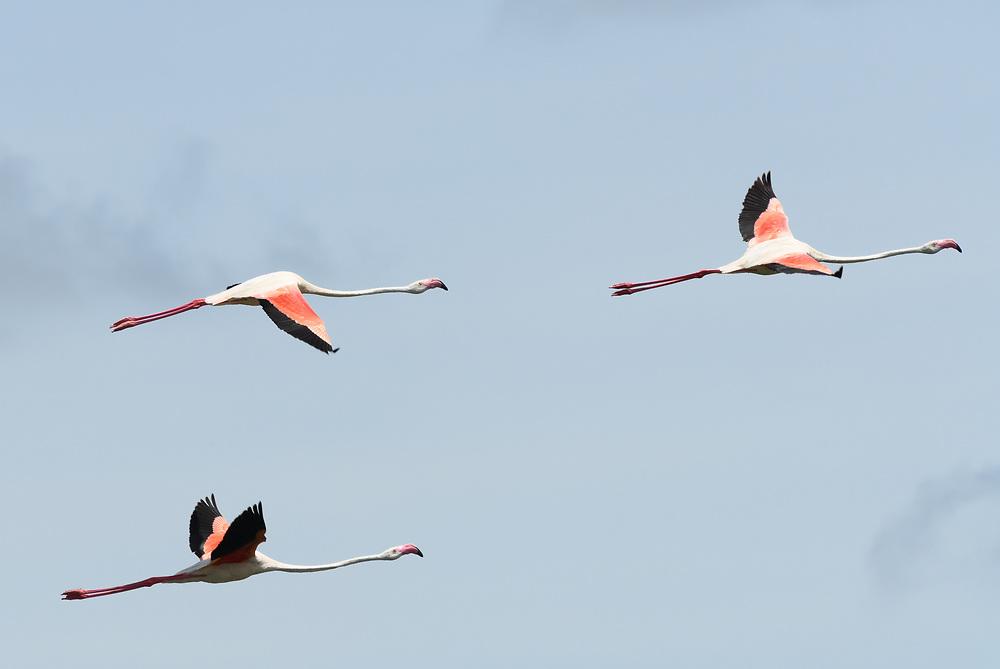 Greater flamingos (Phoenicopterus roseus) in flight above the Arusha National Park. Arusha, Tanzania.