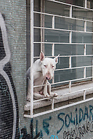 Dog (Bull terrier) in a window in Valparaiso, Chile
