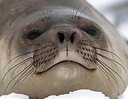 Portrait of a young southern elephant Seal (Mirounga leonina) from Penguin Island, South Shetland Islands, Antarctica