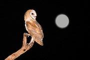 Barn Owl (Tyto alba) Israel, full moon in the background Summer July 2009